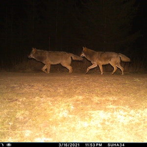 Zwei Wölfe sind im Landkreis Nordhausen in eine Fotofalle getappt