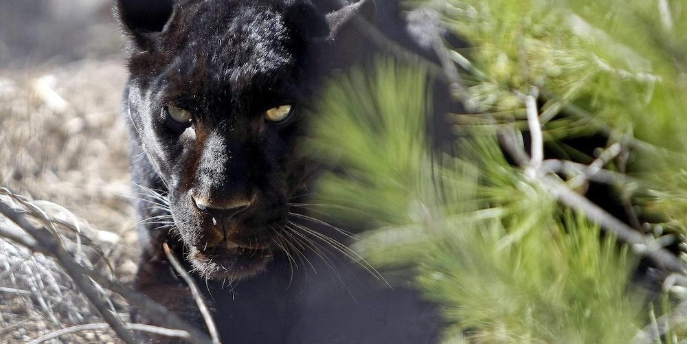 Panther_schwarz_Tier