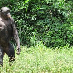 Bonobo-Affe