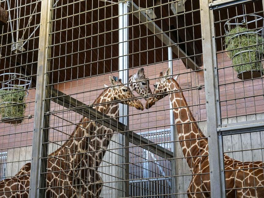 Giraffen_Stuttgart_2