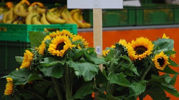 1500 Sonnenblumen warten auf den Ökomärkten auf die Kunden.