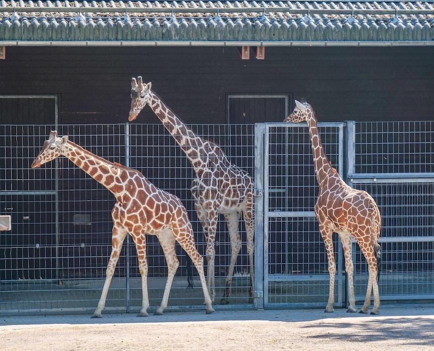 Giraffen_Stuttgart_1