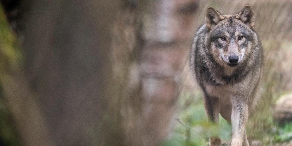 Wolf in Köln