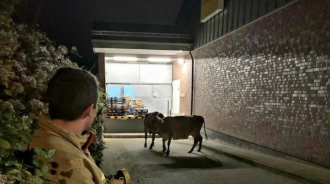 Kühe in Alsdorf werden eingefangen