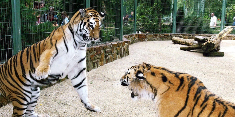 Tiger Zoo Lünebach
