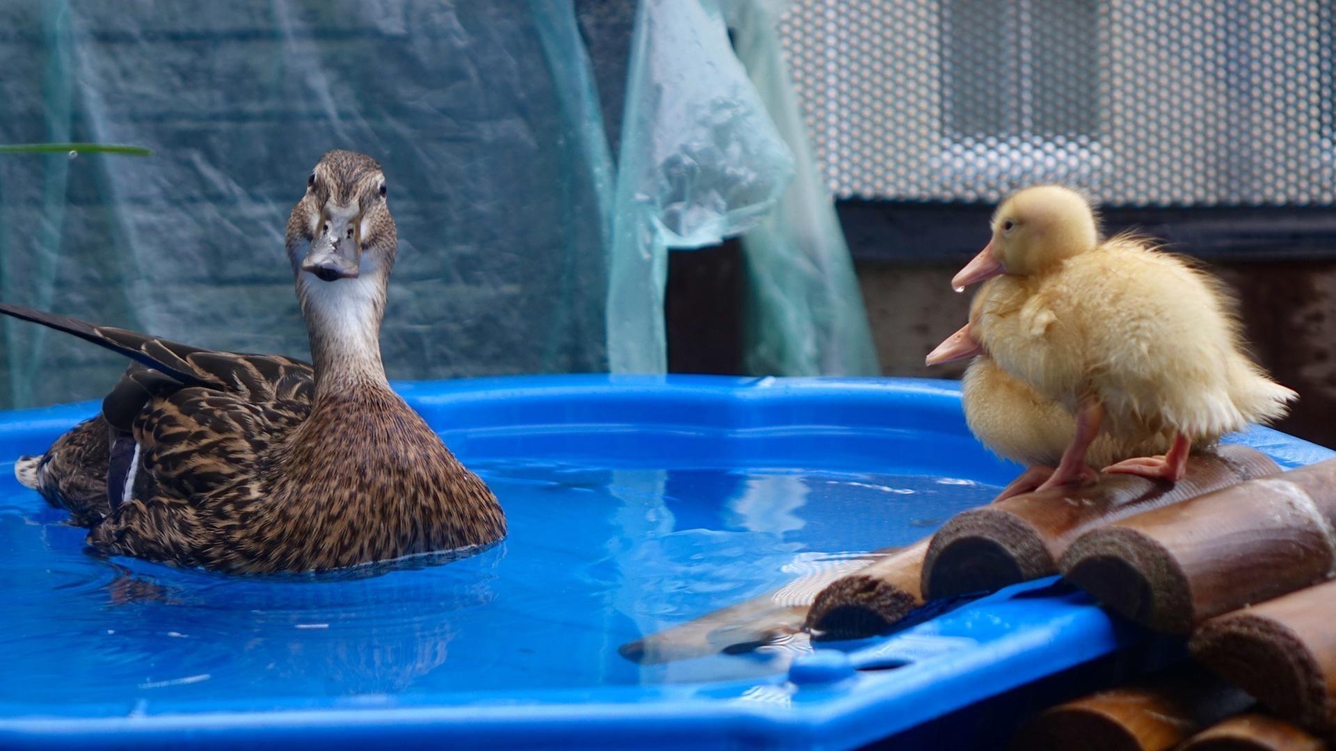 Köln: Ente Alice brütet seit drei Jahren auf Balkon in der